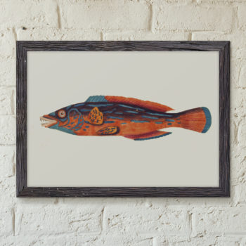 Restored Print of Fish - The Beautiful Sparus Fish - Marinebiology Art Print