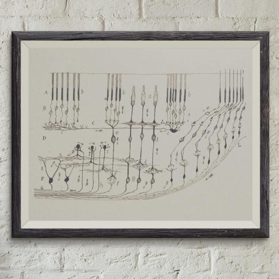 Neurons in the Retina – Santiago Ramon y Cajal Neurology Art Print