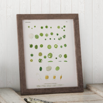 Micrasterias, Algae through the Microscope Science Print