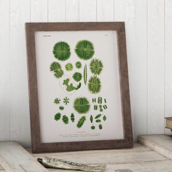 Euastrum, Green Algae through the Microscope Science Print