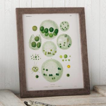 Volvox - Algae through the Microscope Science Print