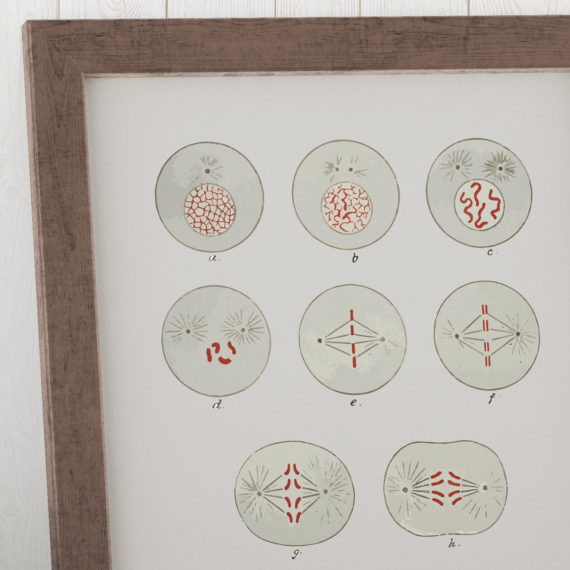cell-division-biology-textbook-1916-art-print-cell-mitosis-science-art-print-biology-student-gift-idea-dorm-room-art-5ab5e9135.jpg