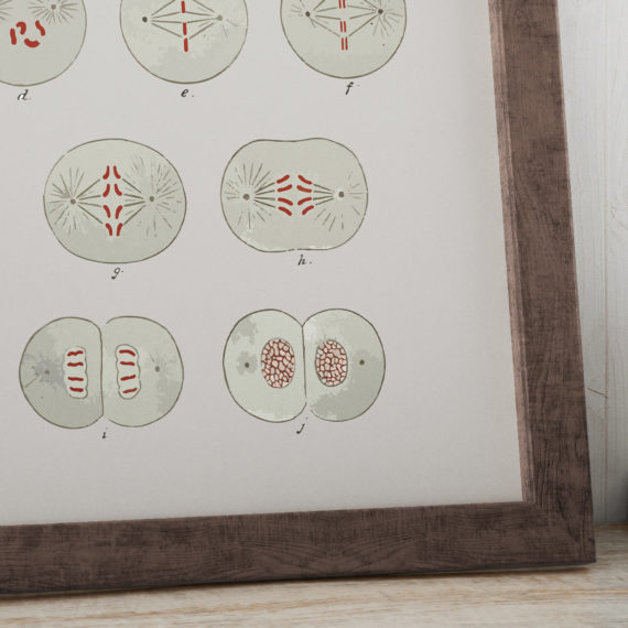cell-division-biology-textbook-1916-art-print-cell-mitosis-science-art-print-biology-student-gift-idea-dorm-room-art-5ab5e9166.jpg