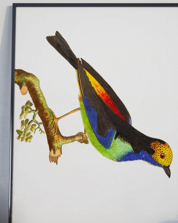 colourful-bird-hanging-on-tree-print-nature-illustration-bird-art-print-ornithology-5ab5f43d2.jpg
