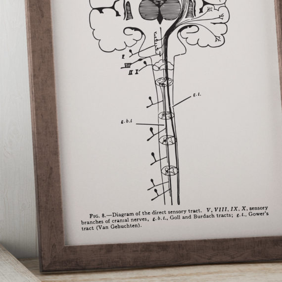 diagram-of-the-direct-sensory-tract-neuron-print-vintage-science-art-print-science-poster-science-student-gift-neurology-gift-5ab5ea795.jpg