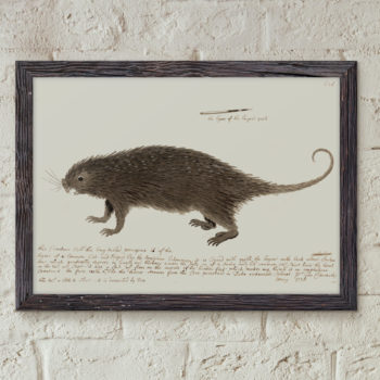 The Long-tailed Porcupine by George Edwards - 1738 - Animal Art Print - Historic Restored Print - Vet Student Gift Idea