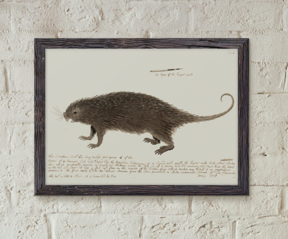 the-long-tailed-porcupine-by-george-edwards-1738-animal-art-print-historic-restored-print-vet-student-gift-idea-5ab5f87e1.jpg