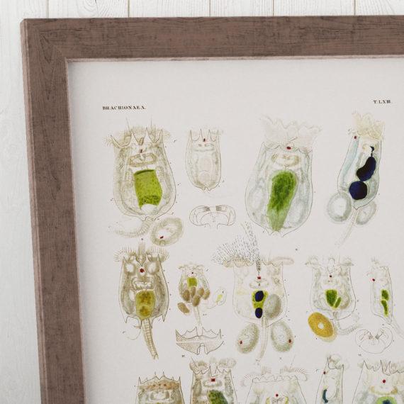 brachionus-planktonic-rotifers-microscope-science-print-biology-art-micro-organism-print-microbiology-art-science-student-gift-5b134d8d6.jpg