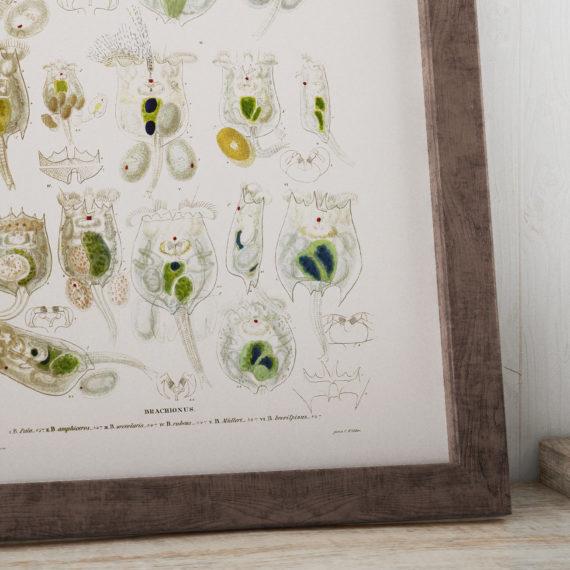 brachionus-planktonic-rotifers-microscope-science-print-biology-art-micro-organism-print-microbiology-art-science-student-gift-5b134d8f7.jpg