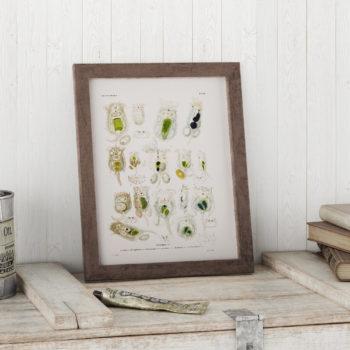 Brachionus, Planktonic Rotifers Microscope Science Print - Biology Art - Micro-organism Print - Microbiology Art - Science Student Gift